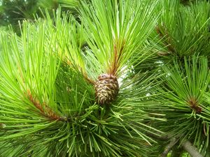 use pine essential oil for natural cleaning